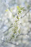 Blooming cherry branch Stock Photo