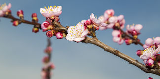 Blooming cherry branch. Over blue sky Royalty Free Stock Images