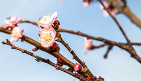 Blooming cherry branch. Over blue sky Royalty Free Stock Image