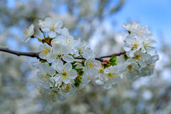 Blooming cherry branch Royalty Free Stock Photos