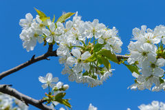 Blooming cherry branch Royalty Free Stock Photography