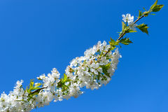 Blooming cherry branch Royalty Free Stock Images