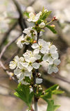 Blooming cherry branch Stock Images