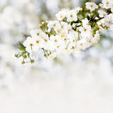 Blooming cherry branch on white bokeh background. Royalty Free Stock Image