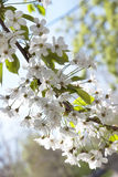 Blooming cherry branch Stock Photos