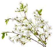 Blooming cherry branches Stock Images