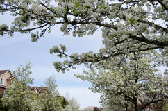 Blooming cherry branches extend over buidlings of a residential Stock Photography