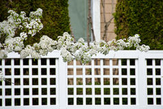 Blooming cherry branches extend over fence Stock Image