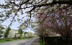 Blooming cherry branches extend over pavement of a residential s Stock Image