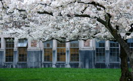 Blooming cherry branches frame campus doors and windows -1 Stock Photos