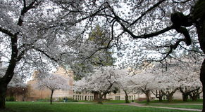 Blooming cherry branches frame park trail in campus Stock Photography