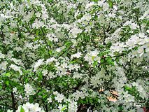 Blooming cherry bush, covered with delicate white flowers Royalty Free Stock Photo
