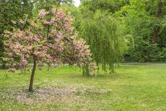 Blooming cherry in the city garden royalty free stock photo