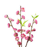 Blooming Cherry Flower Stock Photography