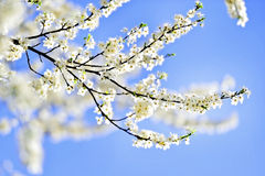 Blooming cherry flowers with blue sky on background Stock Photos