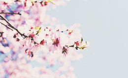 Blooming cherry flowers with copy space on soft blue background Stock Photo