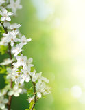 Blooming cherry flowers on green Royalty Free Stock Image
