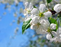 Blooming cherry in front of sky Stock Images