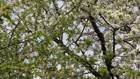 Blooming cherry fruit tree branch. With beautiful flowers stock video