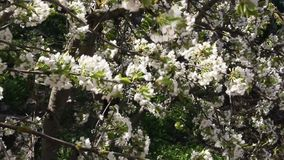 Blooming cherry fruit tree branch stock footage