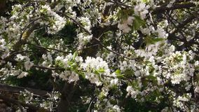 Blooming cherry fruit tree branch. With beautiful flowers stock footage