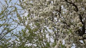 Blooming cherry fruit tree branch. With beautiful flowers stock video footage