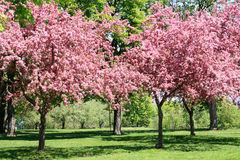 Blooming Cherry Garden. Cherry trees rich covered by beautiful pink blossoms in May fruit garden Stock Photos