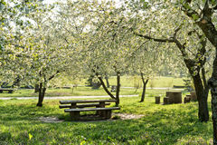Blooming cherry garden Royalty Free Stock Images