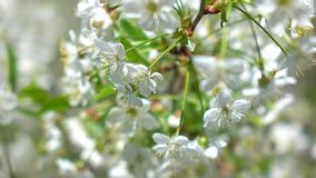 Blooming cherry garden on a sunny day 4K macro shot stock footage