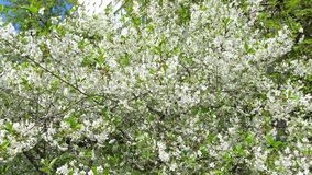 Blooming cherry garden on a sunny day 4K pan video stock video footage