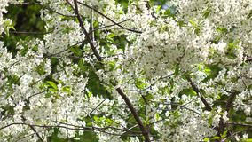 Blooming cherry garden on a sunny day 4K shot stock footage
