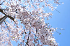 Blooming cherry Royalty Free Stock Photography