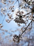 Blooming cherry Stock Images