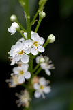 Blooming Cherry Laurel Stock Image