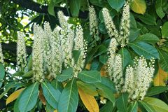 Blooming of cherry laurel Royalty Free Stock Image