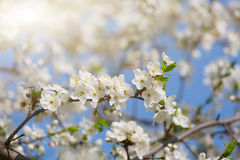 Blooming cherry orchard Royalty Free Stock Photography