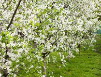 Blooming cherry orchard. Planted some cherry trees are blooming beautiful flowers Royalty Free Stock Photo