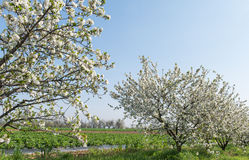 Blooming cherry orchard Royalty Free Stock Photos