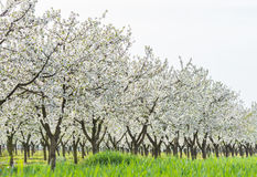 Blooming cherry orchard Stock Image
