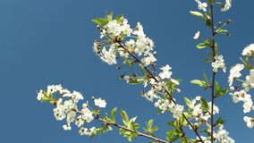 Blooming cherry orchard white flowers stock video footage