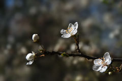 Blooming cherry plum in early spring in the fruit orchard, close Royalty Free Stock Photo