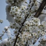 Blooming cherry plum fell under the snowfall. Closeup of white flowers of a cherry plum tree covered with snow stock images