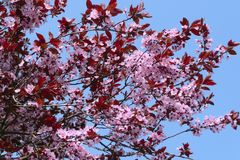 Blooming cherry (sakura) Royalty Free Stock Images