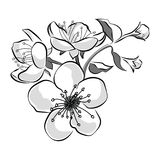 Blooming cherry. Sakura branch with flower buds. Black and white drawing of a blossoming tree in spring. Logo with. Japanese cherry blossoms. Tattoo royalty free illustration