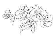 Blooming cherry. Sakura branch with flower buds. Black and white drawing of a blossoming tree in spring. Logo with. Japanese cherry blossoms. Tattoo Vector Illustration