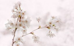Blooming cherry sakura branch with white flowers. Spring stock photo