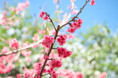 Blooming cherry sakura pink flowers background Royalty Free Stock Images