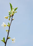 Blooming cherry sprig Stock Image