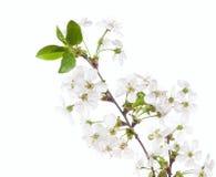 Cherry stem Royalty Free Stock Photo
