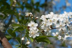 Blooming cherry on sunny day Royalty Free Stock Images